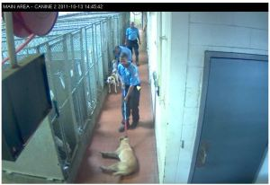 2011 image from MAS webcams of a dog being dragged on a chokepole.