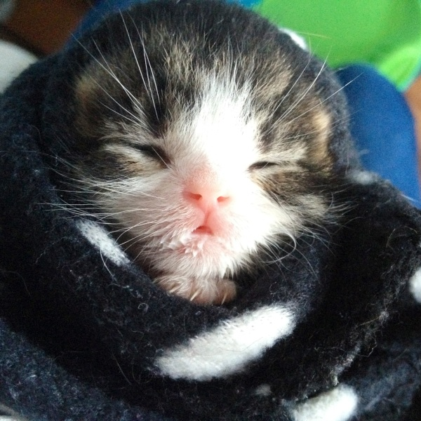 "Photo submitted by reader Ashley, who writes:  ""My foster kitten, Ollie, at 1 week old, right after a feed."""