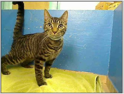 Cat #0952341 at NYC ACC Manhattan, as pictured on PetHarbor.