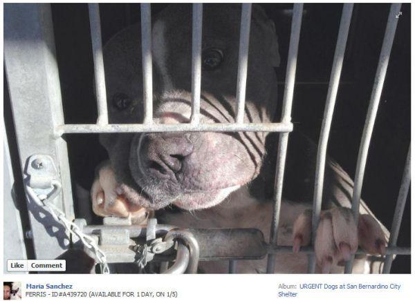 Screengrab from Facebook of dog ID #439720 at the San Bernardino city pound.