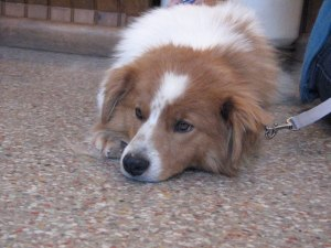 "Photo of rescue dog ""Buddy"", posted on the National English Shepherd Rescue page on Facebook."
