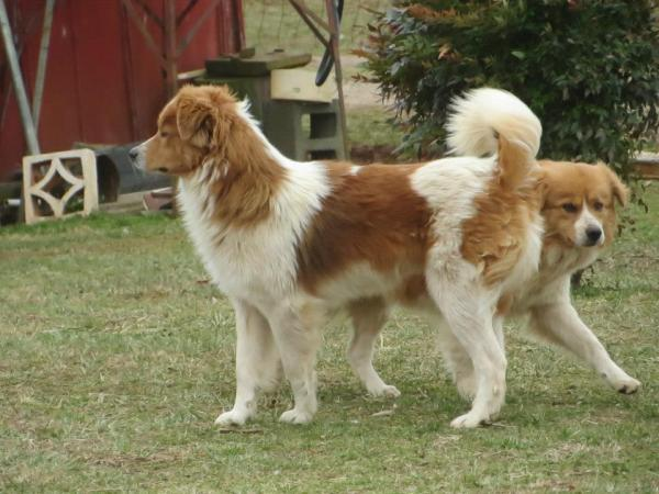 Photo of rescued dogs, posted on the National English Shepherd Rescue page on Facebook.
