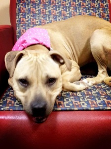 Toffee, a dog at the Humane Society of Memphis and Shelby Co, slated for killing.  (Photo submitted by a reader)