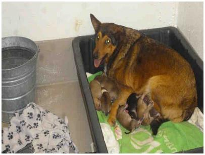 Mother dog and litter at Austin Animal Center, as posted on PetHarbor.com