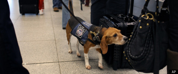 bomb sniffing beagle