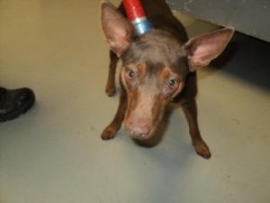 A dog named Nina is pictured on a chokepole on the Petfinder page of the Conroe Animal Shelter.