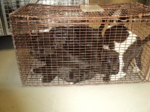 Puppies squashed into a rusted cage, as posted on the Petfinder page of the Conroe Animal Shelter.