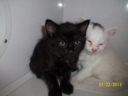 In this photo posted to the Petfinder page of the Conroe Animal Shelter, a sick kitten appears to be housed with a healthy kitten.