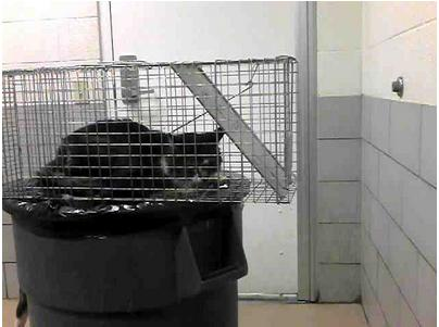 Cat ID #101428 in a trap on a trash bin at the Nashville pound, as pictured on PetHarbor.