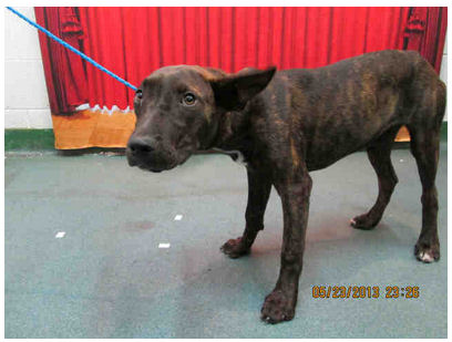 Dog ID #1532160 at the Miami-Dade pound, as pictured on Petharbor,com.