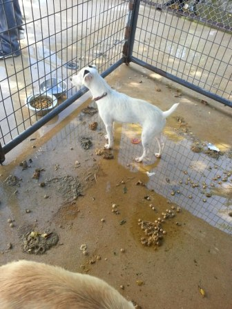 A Jack Russell Terrier stands in a filthy kennel at CLASS in Comal Co, TX. (Image via Facebook)