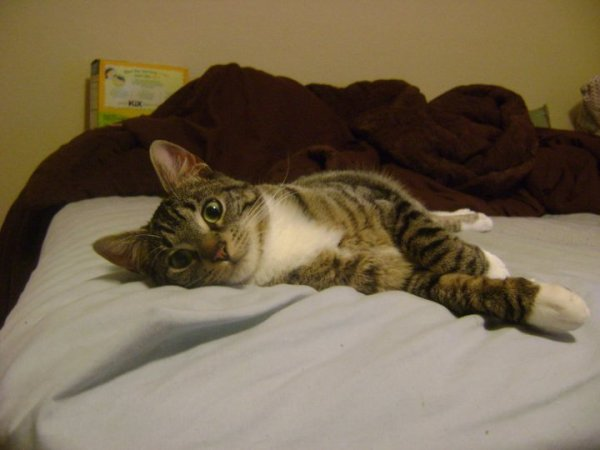 """Mr. Towel is a 3 year old neutered male who is very calm and easy to care for in the house and gets along with other cats, dogs, and small kids. He is microchipped."""