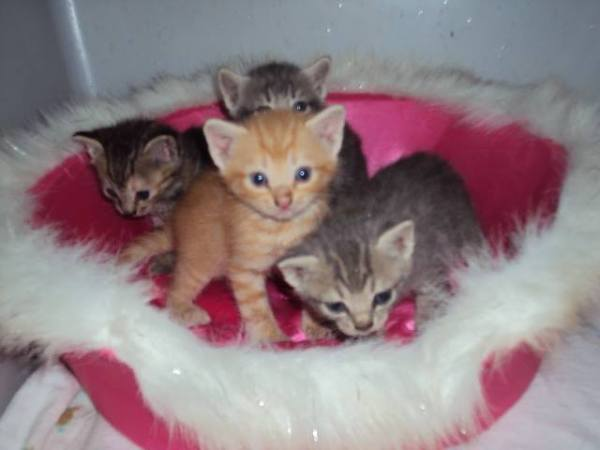 Kittens in need of foster - Yanceyville, NC (photo by Dot Kirby)