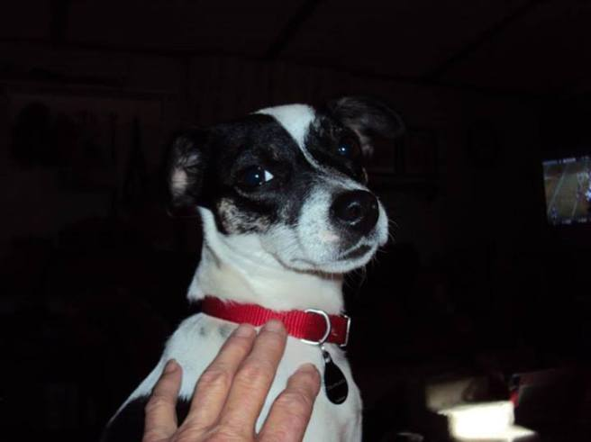 """""""Dandy"""".. Very shy little JRT mix, another foster baby since Dec 30, 2012   She is still waiting for her forever home. - Dot Kirby, Yanceyville, NC"""