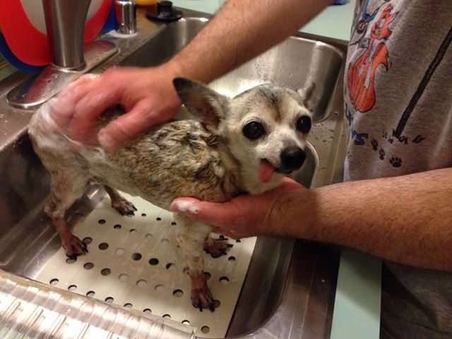 This is Mallymkin getting her first bath at her new home about two weeks ago.  She was seized, along with a pit bull puppy, from a bad situation by animal control.  The puppy was adopted, but Mally languished in the shelter.  Twelve years old, toothless, plagued with skin problems, her prospects were not good.  But when my husband, Frank, and I saw her photo on Facebook, we fell for her and fell hard.  We went to the shelter and adopted her the next day.  The thing is, as rough as her condition was and as rough the circumstances she came from apparently were, we could tell she was loved.  She knows how to cuddle and burrow under the covers for a snuggle.  She's sweet and tolerant and took no time at all to fit into our pack.  I feel sad for her former owners.  Maybe with a little help they could have kept her and made her life better.  I hope that somehow they know she made it out of the shelter and is safe and loved and adored by her new family.  - Denise Mulliken