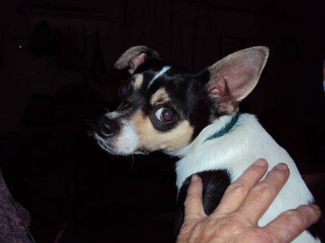 """""""Sheldon"""" after 14 months in foster care with me, Dot Kirby, Yanceyville, NC.  This tiny 11th hour rescue has an adopter!  His new Mom will be flying from Canton,OH to NC to meet him for the very first time on Jan 8, 2014 and flying him back to his forever home."""