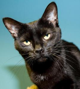 Allegra, a cat at the Medina Co SPCA, judges your stupidity.