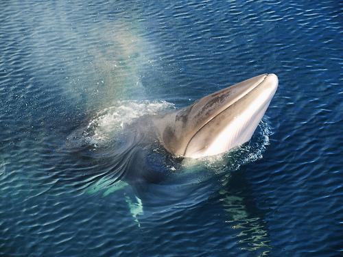 Minke whale, [x]