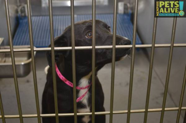 "Dog ID #267072 at the Memphis pet killing facility, as shown on Facebook.  Her ""review date"" is tomorrow."