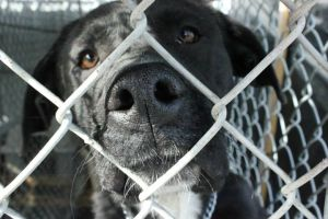A dog listed on the website for the McCracken Co pound in KY.