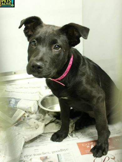Puppy ID #A266460, as depicted on the Memphis Pets Alive page on Facebook.