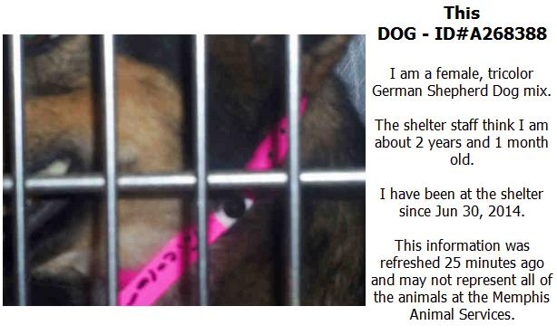 Screengrab from PetHarbor of a lost dog, posted by the Memphis pound.