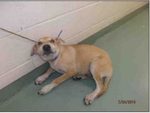 Puppy #269268 as posted on PetHarbor by the Memphis pound.