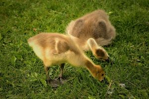 Goslings [Image via Wikipedia]