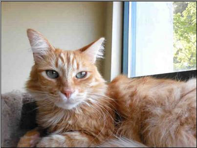Cat ID #309183 at Sonoma Co Animal Services, as shown on PetHarbor.  (Click link to read the fabulous bio.)