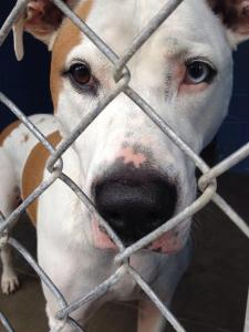 "A dog named ""60881"" posted on Petfinder by Rowan Co and described as ""**LAST DAY IS MONDAY 8/4/14!!**"", as shown on the website on August 7, 2014."