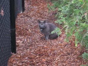 Ford, part of a maintained TNR colony in AL.  (Photo by Aubrie Kavanaugh)