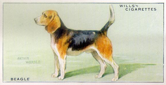 beagle cig