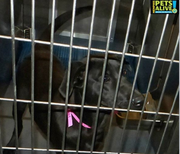 Dog #271273 at the Memphis pound, as photographed by Memphis Pets Alive.