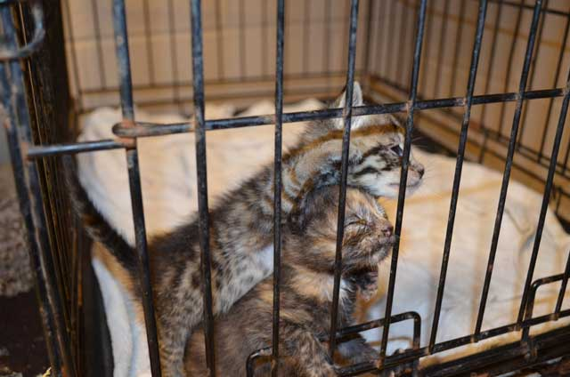 Kittens suffering in a county pound in KY, as photographed by animal advocates and shown on the WAVE website.