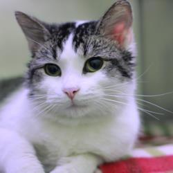 An extremely handsome cat named Bill, listed as adoptable on the Capital Area HS website.