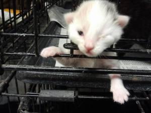 cicero kitten