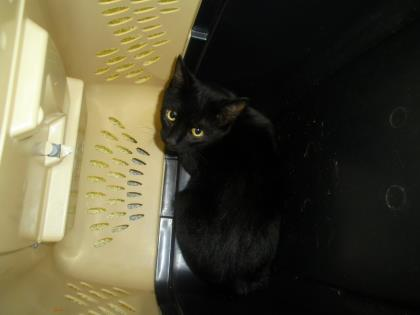 Tipped over in his carrier for a photo, this cat is listed as an adoptable pet by the Lincoln Co pound on Petpoint.