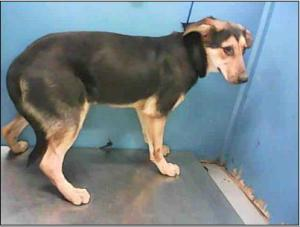 Dog ID #A1296681 at BARC, as pictured on PetHarbor.