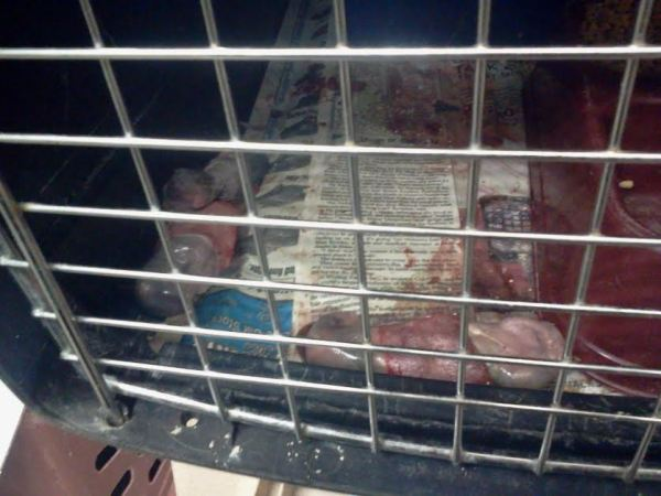 One live kitten, two dead kittens, mother cat out of frame in back of crate.