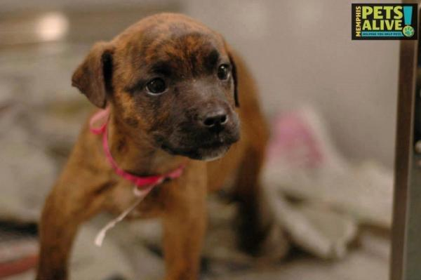 Puppy ID #275425 at the Memphis pound, as photographed by Memphis Pets Alive.