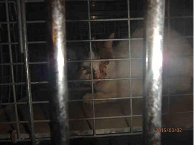 Cat ID #A125956 at the Chicago pound, kisted as lost, as shown on PetHarbor