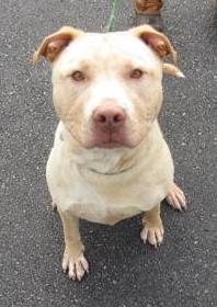 Dug, ID #19254, as pictured on the NH SPCA website.