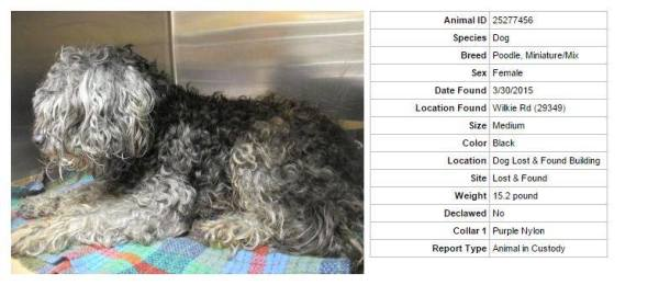 Injured dog ID #25277456, wanted by rescue, at the Greenville Co pound.