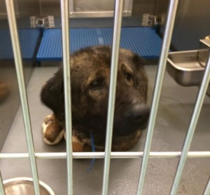 Dog ID #276292 at the Memphis pound, as shown on Facebook.