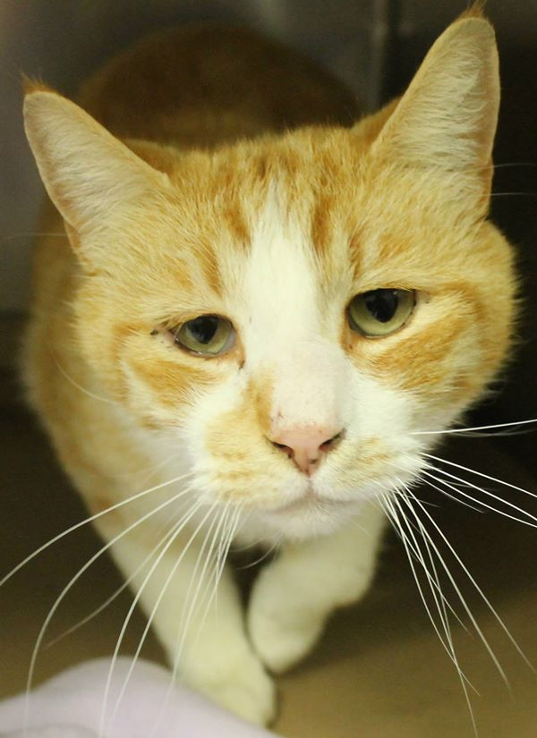 Hermes, cat ID #27630587 at the Greenville Co pound in SC .(via Facebook)