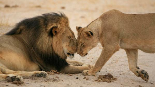 Cecil with a lioness.  (Photo by Brent  Stapelkamp)