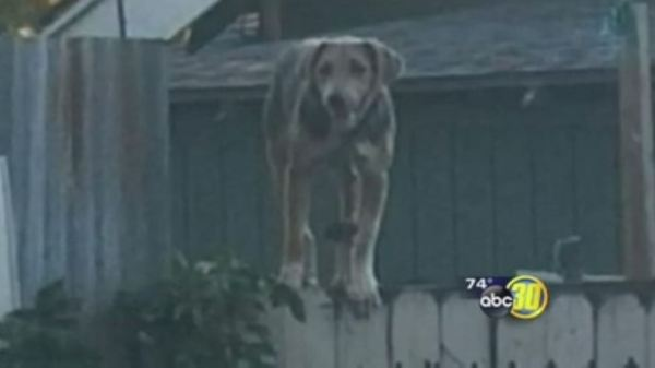 A tethered dog in need of help, as pictured on the ABC30 website.