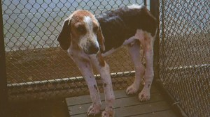 Hound at the Pittsylvania Co pound who was killed while rescuers offered to save him.
