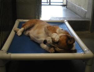 Henry sleeping on a Kuranda bed at the National Mill Dog Rescue Kennel in Peyton, Colorado.  (Photo submitted by Brie Kavanaugh)