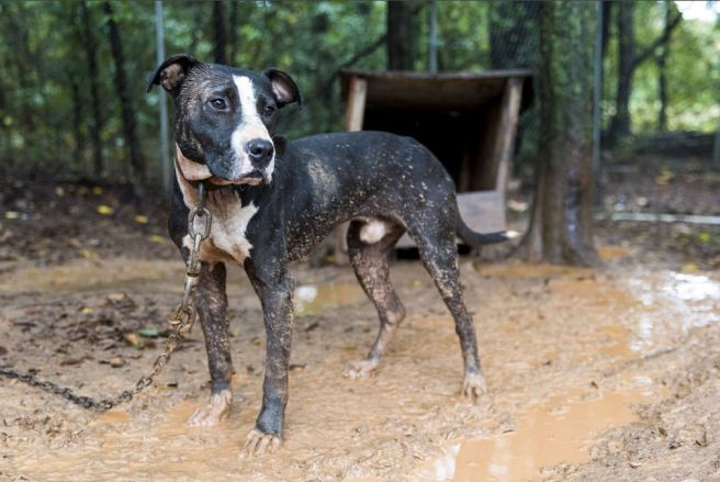 This lovely dog in Huntersville, NC is pictured on the ASPCA website with a fat head and a sweet expression.